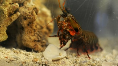 Photo of Stronger Composite Materials Inspired by the Mantis Shrimp