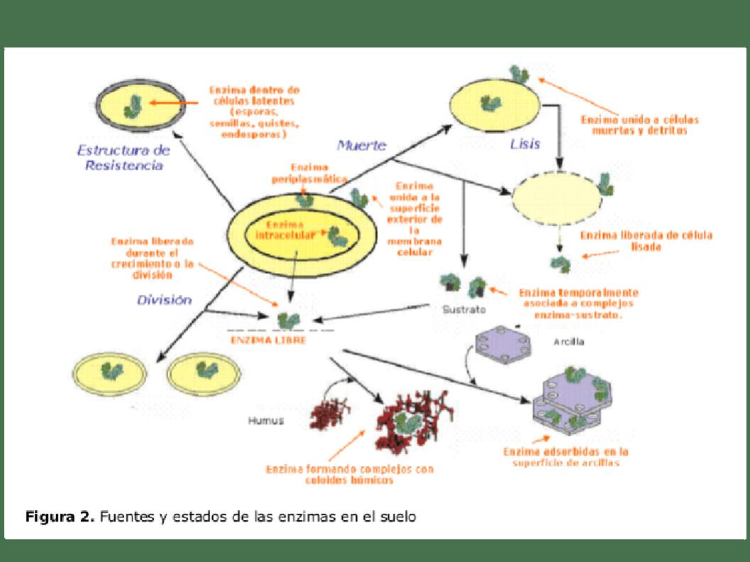 Actividades enzimáticas en un suelo