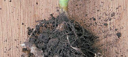 Compost y vermicompost aumenta la producción de oliva y maíz y reduce al hongo Plasmodiophora brassicae
