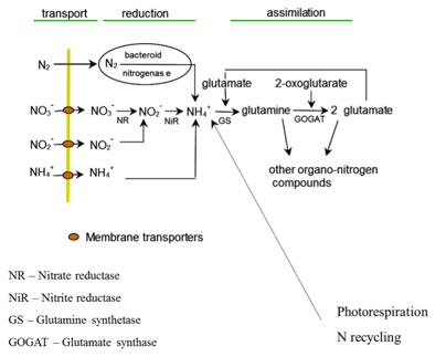 Asimilación de nitrógeno