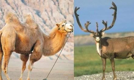 ¿Reno o camello?