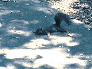 Squirrel spread-eagled on its belly in a shady patch of cement walkway.