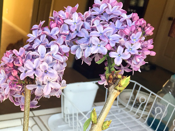 A lilac spray in a glass in the kitchen
