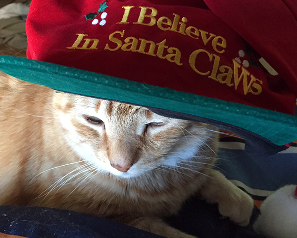 My orange tabby cat Tiger wearing a hat that says I Believe in Santa Claws