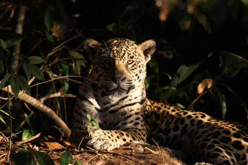 A jaguar (Panthera onca) in Mato Grosso, Brazil. The photo is taken in the north of the Pantanal, in the state of Mato Grosso, in the middle of the jungle, specifically in the area of Porto Jofre, Poconé, upstream and downstream of the Cuiabá River.