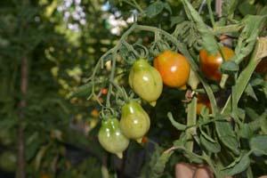 Hortives_lab_coltivazionePomodori_9357