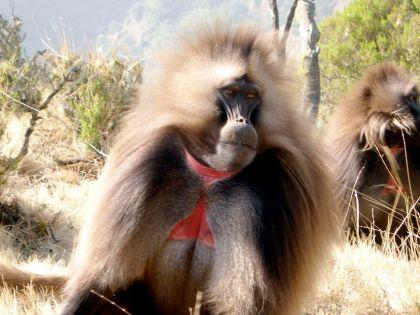 El primate Gelada