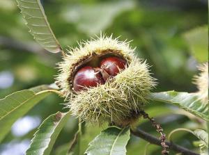 Castaño y fruto