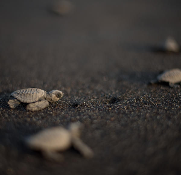 Newborn sea turtles race to the ocean in Monterrico. Photo: Santiago Billy/Comvite