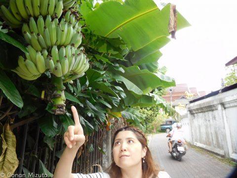 軒先になるバナナ。こんな風に実が付くんですね。。