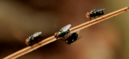 houseflies on a stick