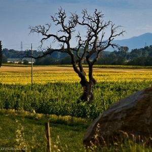 Quercia tra le vigne sulla piana di Braccagni