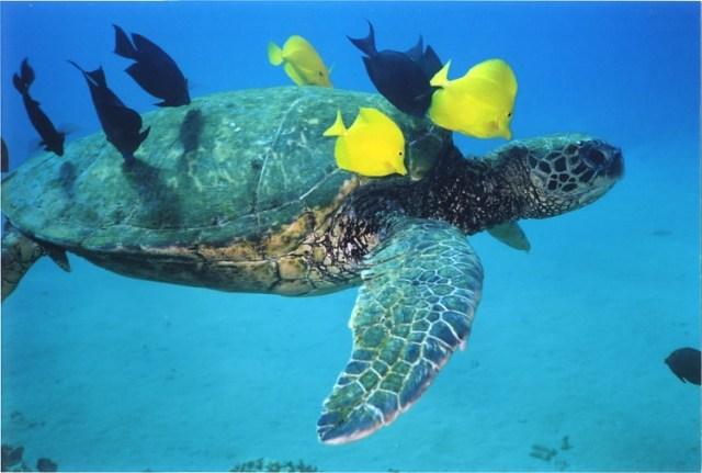 hawaiian-green-sea-turtle-1-1482511
