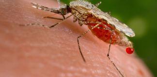 Mosquito, Wikimedia, Jim Gathany