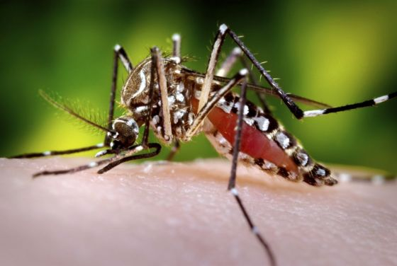 GM mosquitoes resist malaria infection