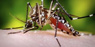 Mosquito. Photo: Sanofi Pasteur, Flickr