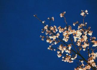 Cherry blossom. Photo: Pixabay