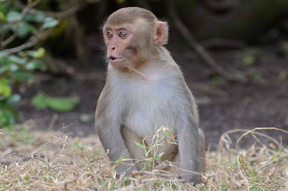 Implant helps paralysed monkeys walk