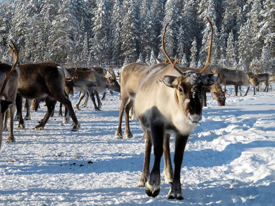 80,000 reindeer starve to death in Siberia