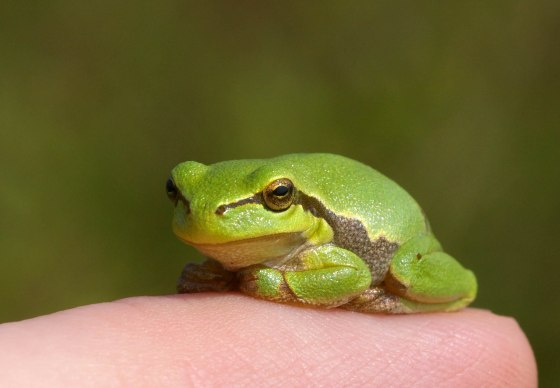Biologists identify frog the size of a thumbnail
