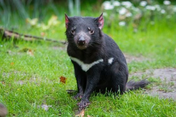 Tasmanian devils on the decline