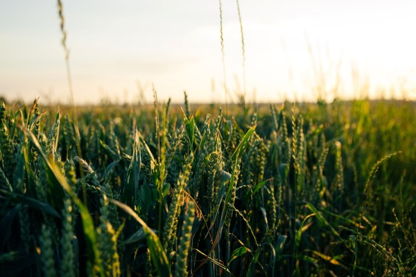 Are GM crops in the UK's future?