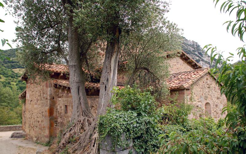 El olivo de Santa María de Lebeña