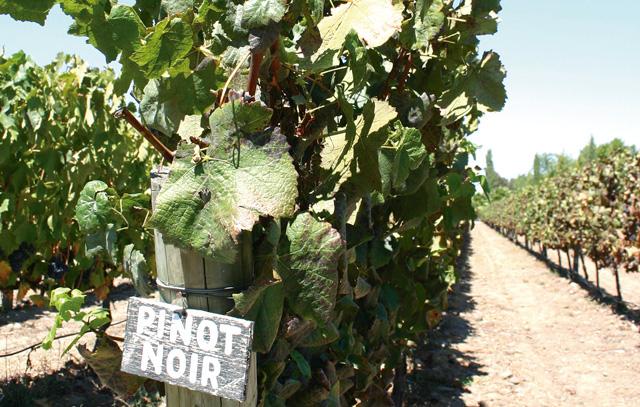 Auch Pinot Noir wird in Chile angebaut.
