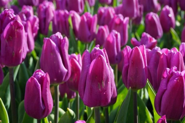 Tulip ungu