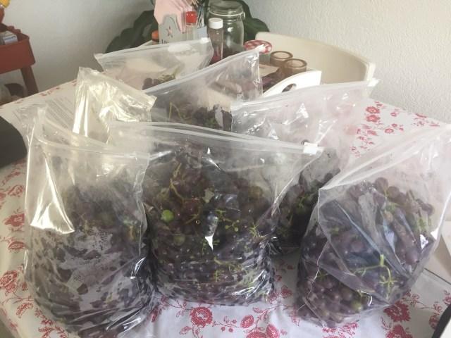 Panen Anggur kedua. Sekitar 10kg
