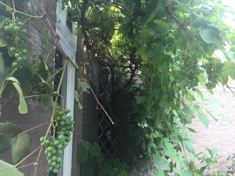 Penampakan Anggur-anggur di salah satu sisi halaman belakang