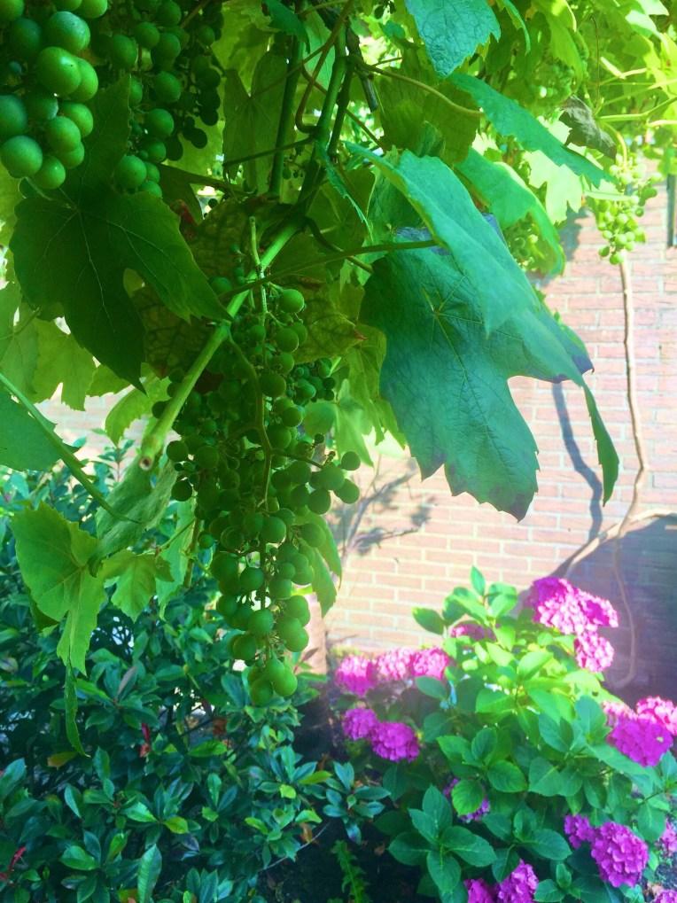 Sebagian kecil calon-calon Anggur