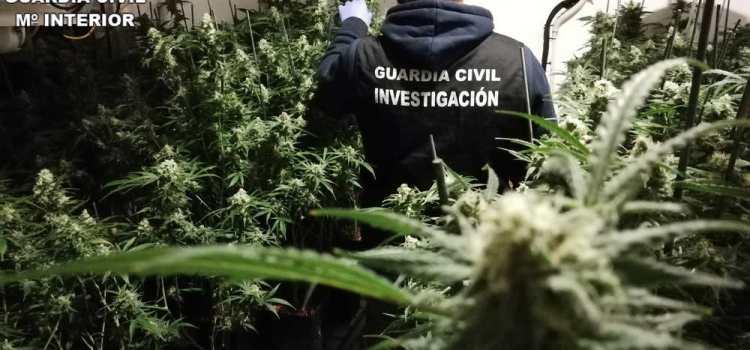 La Guardia Civil incauta 1170 plantas de marihuana en las localidades de  La Drova Barx y Rafelguaraf