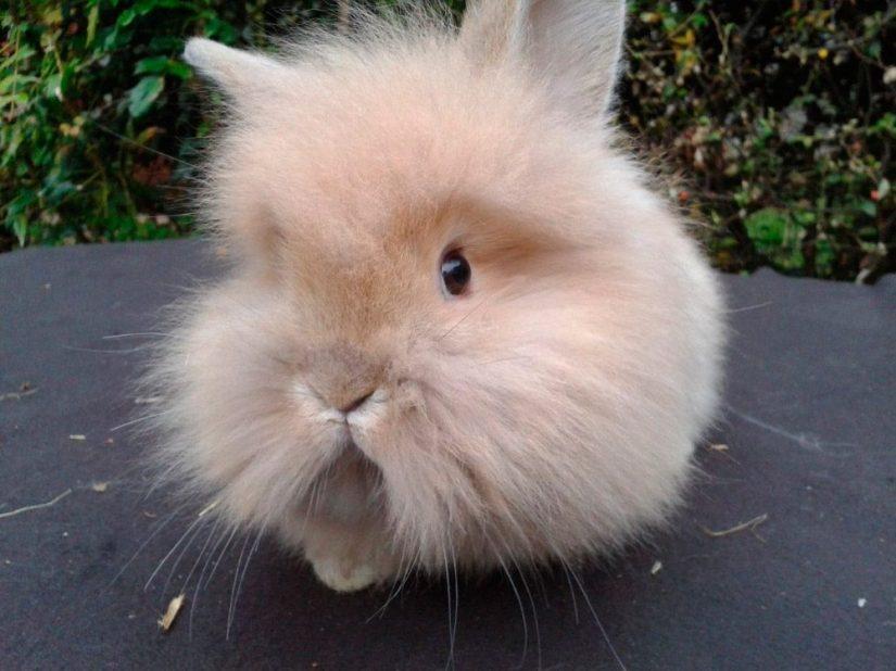 Resultado de imagen para conejo cabeza de leon