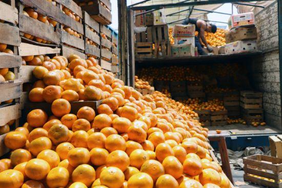 FOTOGALERÍA | Inicia en México temporada de la deliciosa mandarina