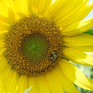 Daykene Farms Sunflower Maze