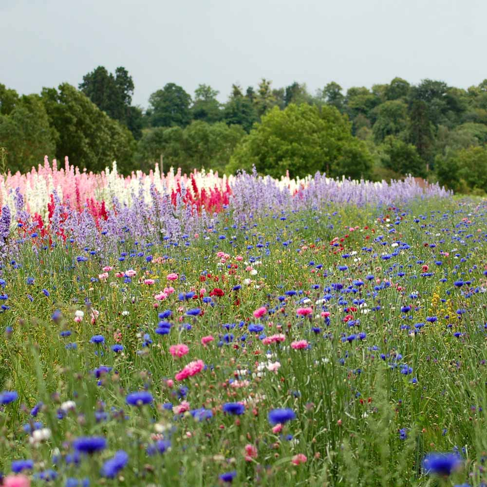 Delphiniums and Cornflowers in our confetti flower field