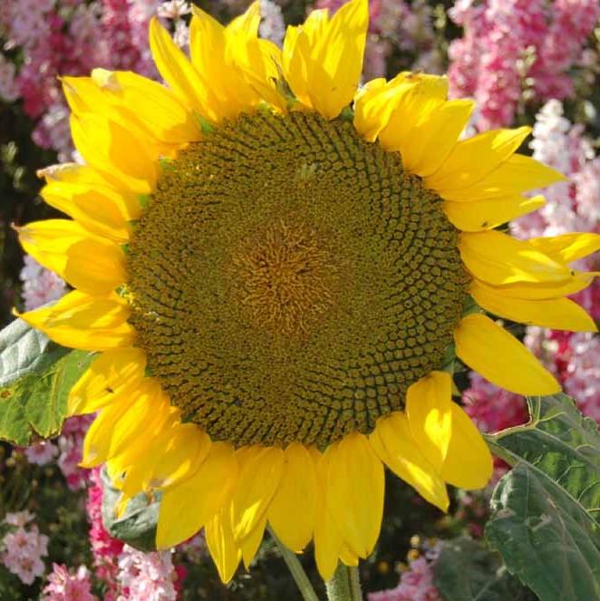 confetti fields 2020 sunflowers