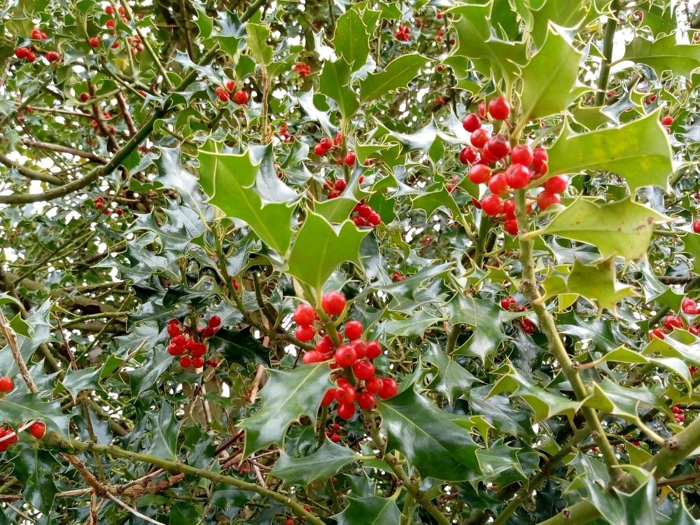 a holly bush