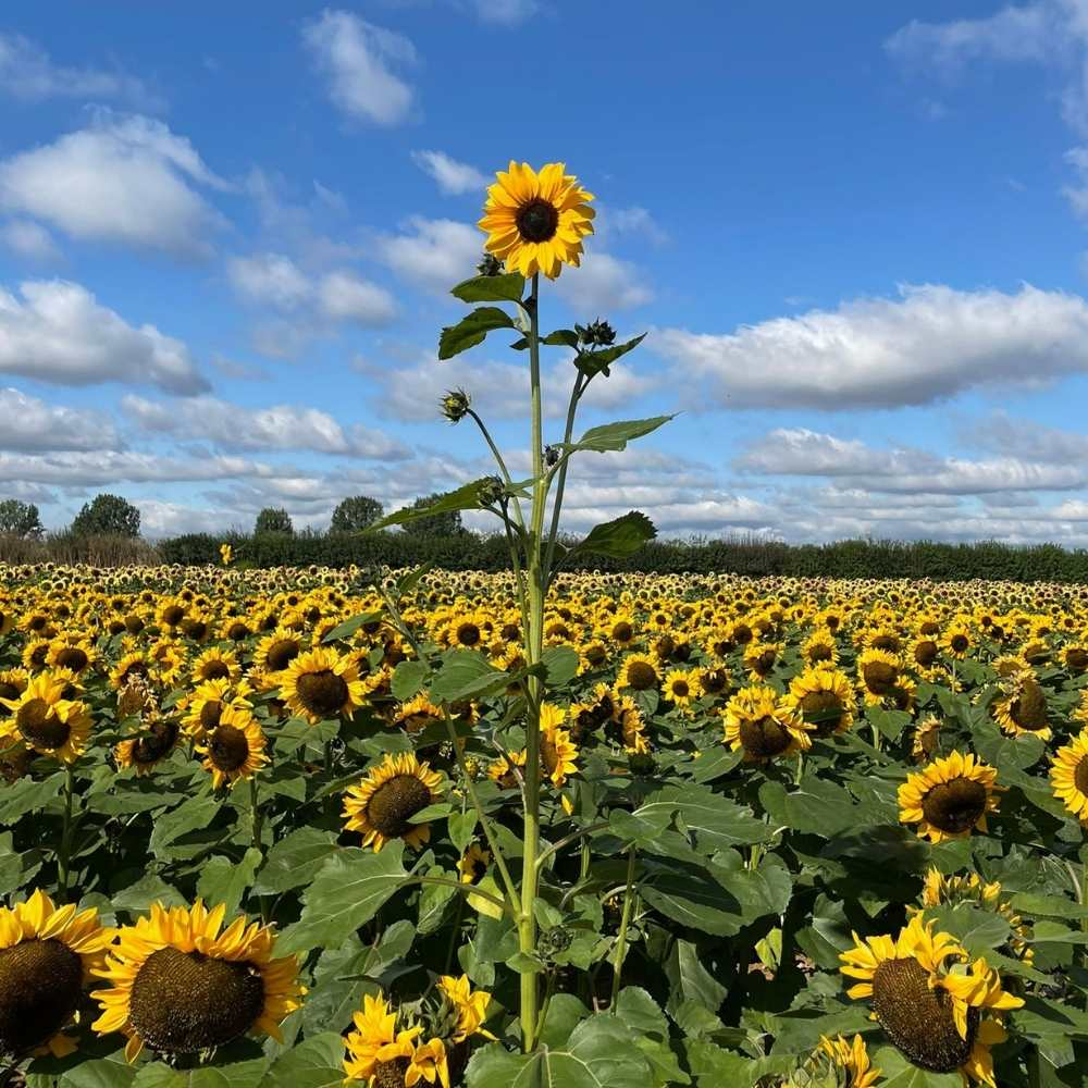 A really tall sunflower, 2021, The Sunflower Field, The Real Flower Petal Confetti Company, Worcestershire
