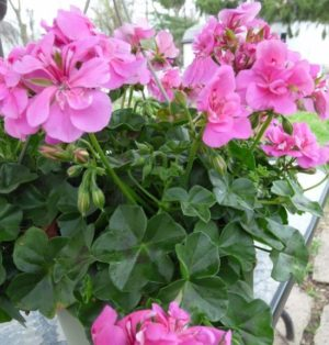 Ivy Geranium Baskets