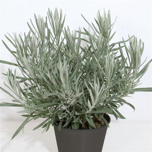 Silver Ribbon Helichrysum