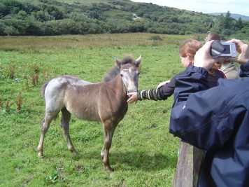 Get in touch with the Connemara Ponies