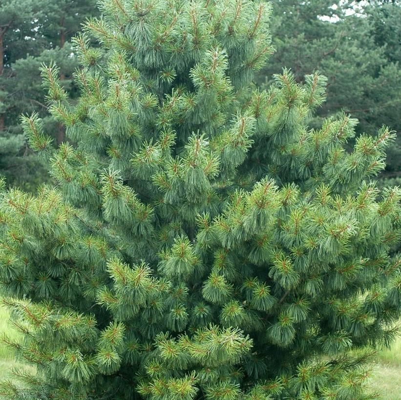 Weeping Trees Pine Pruning