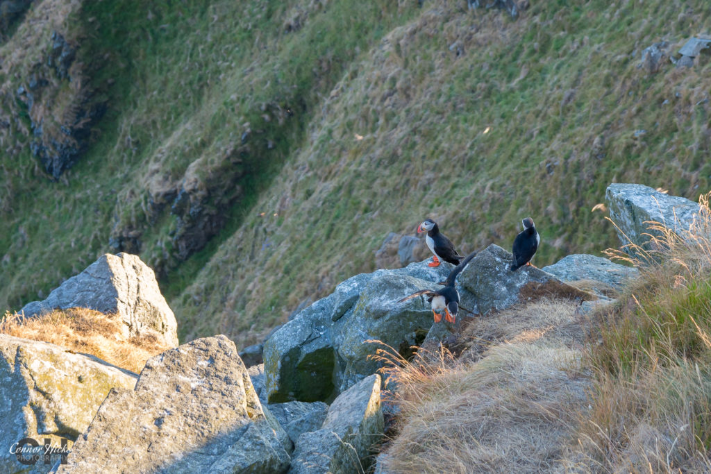 puffins runde island norway 1024x683 Travel