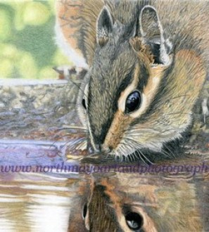 Original coloured pencil drawing 'Chipmunk taking a drink'