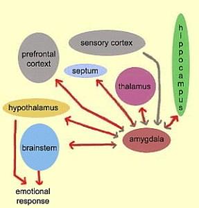 Schema van informatie-uitwisseling tussen een aantal delen van ons brein.delen.