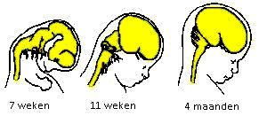 Na 12 weken is de foetus al als mensje in wording herkenbaar.