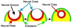 Het ontstaan van de neurale buis.