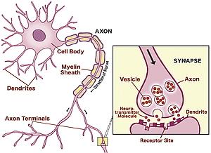 Tekening van een neuron. Detail van een synaps.
